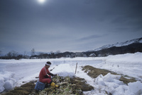 雪の畑で雪菜を収穫する人