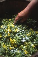 菜の花漬けをする農婦の手