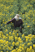 菜の花畑で蕾だけを摘む農婦