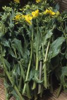 摘み取られた菜の花