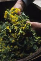 摘み取られた菜の花と農婦の手