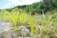 湿地の草に止まるハッチョウトンボ