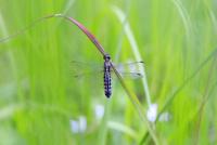 草に止まり翅を休めるハラビロトンボ