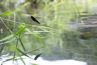 川岸のヨシの葉に止まるハグロトンボ