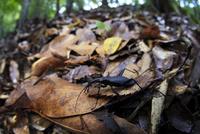 森の中を歩くマイマイカブリ 02555000624| 写真素材・ストックフォト・画像・イラスト素材|アマナイメージズ
