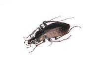 キイオサムシの標本 02555000625| 写真素材・ストックフォト・画像・イラスト素材|アマナイメージズ