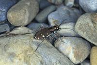 河原を歩くニワハンミョウ 02555000629| 写真素材・ストックフォト・画像・イラスト素材|アマナイメージズ
