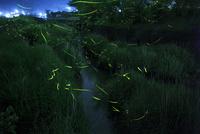 里山を流れる小川で乱舞するゲンジボタル 02555000635| 写真素材・ストックフォト・画像・イラスト素材|アマナイメージズ