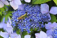 アジサイの花に止まるイナゴの仲間