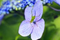 アジサイの花に止まるキリギリスの仲間