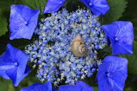 紫陽花とカタツムリ 02555000724| 写真素材・ストックフォト・画像・イラスト素材|アマナイメージズ
