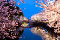 菱門橋とライトアップの桜 02583001192| 写真素材・ストックフォト・画像・イラスト素材|アマナイメージズ