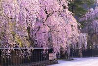 角館樺細工伝承館の枝垂れ桜