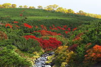 乗鞍岳の紅葉のナナカマド