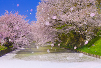 弘前公園の桜 02583003553| 写真素材・ストックフォト・画像・イラスト素材|アマナイメージズ