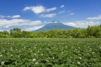 羊蹄山とジャガイモの花