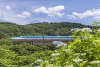 紫陽花と北海道新幹線