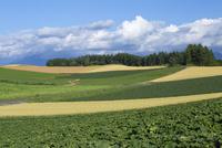 美瑛の丘の風景