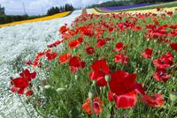 ファーム富田の彩りの畑 02583005597  写真素材・ストックフォト・画像・イラスト素材 アマナイメージズ