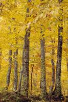 秋の白神山地のブナ原生林
