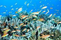 サンゴ礁に群れるアカネハナゴイ