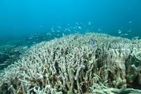 内湾のユビエダハマサンゴに群れるネオンテンジクダイ