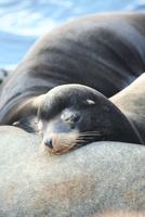 昼寝するカルフォルニアアシカ 02599001996| 写真素材・ストックフォト・画像・イラスト素材|アマナイメージズ