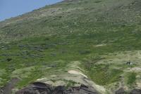 鳥島の中腹にあるアホウドリのコロニー