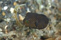 モヨウフグの幼魚
