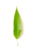 クヌギの葉表 02605000123| 写真素材・ストックフォト・画像・イラスト素材|アマナイメージズ