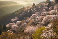 吉野山の桜 02616001737| 写真素材・ストックフォト・画像・イラスト素材|アマナイメージズ
