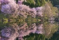 中綱湖の桜 02616003119| 写真素材・ストックフォト・画像・イラスト素材|アマナイメージズ