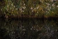 ススキと池