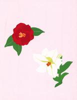 紅白*花 02650000088| 写真素材・ストックフォト・画像・イラスト素材|アマナイメージズ