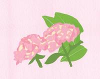 ピンク紫陽花 02650000096| 写真素材・ストックフォト・画像・イラスト素材|アマナイメージズ