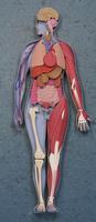 人体模型 02656000089| 写真素材・ストックフォト・画像・イラスト素材|アマナイメージズ