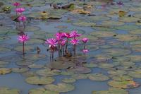 ベンメリア ピンクの蓮池