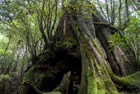 白谷雲水峡 大木