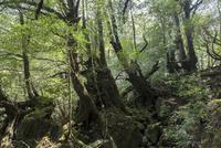白谷雲水峡 苔の森 新緑