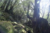 白谷雲水峡 光さす苔の森