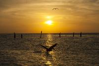 海の夕日 ダイブして魚を捕まえるペリカン 02667000652| 写真素材・ストックフォト・画像・イラスト素材|アマナイメージズ