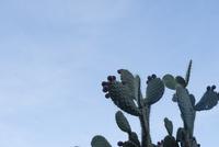 グアナファトの山 サボテン ツナ 02667000758| 写真素材・ストックフォト・画像・イラスト素材|アマナイメージズ