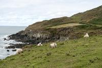 海岸の崖ぞいの草原の羊たち 02667000997| 写真素材・ストックフォト・画像・イラスト素材|アマナイメージズ