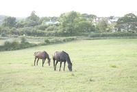 牧場と2匹の馬