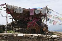 アンナプルナ 休憩する馬