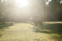 奈良公園 光のなかの鹿 02667001667  写真素材・ストックフォト・画像・イラスト素材 アマナイメージズ