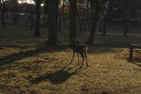 奈良公園 鹿と影 02667001668  写真素材・ストックフォト・画像・イラスト素材 アマナイメージズ