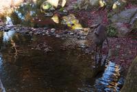 奈良公園 水のそばの紅葉と鹿 02667001671  写真素材・ストックフォト・画像・イラスト素材 アマナイメージズ