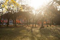 奈良公園 光さす紅葉のなかの鹿 02667001676| 写真素材・ストックフォト・画像・イラスト素材|アマナイメージズ
