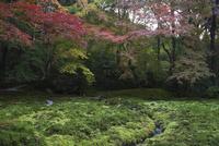 瑠璃光院  瑠璃の庭  苔と紅葉 02667002263| 写真素材・ストックフォト・画像・イラスト素材|アマナイメージズ